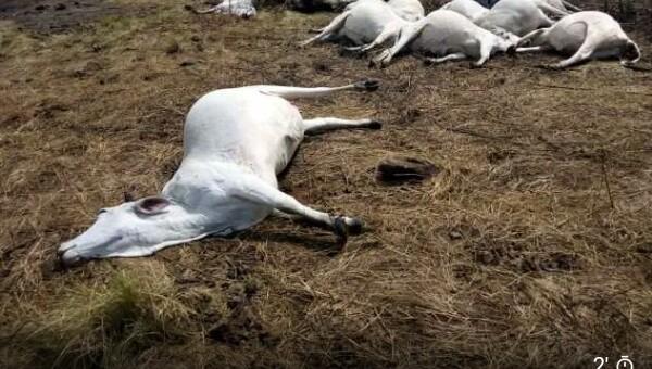 BREAKING!!! Tension As Strange Disease Kills 200 Cows
